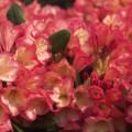 Rhododendron yakushimanum 'Barbarella'