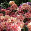 Rhododendron Hybride 'Brasilia'