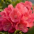 Rhododendron Hybride 'Capriccio'