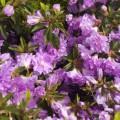 Rhododendron obtusum 'Elsie Lee'