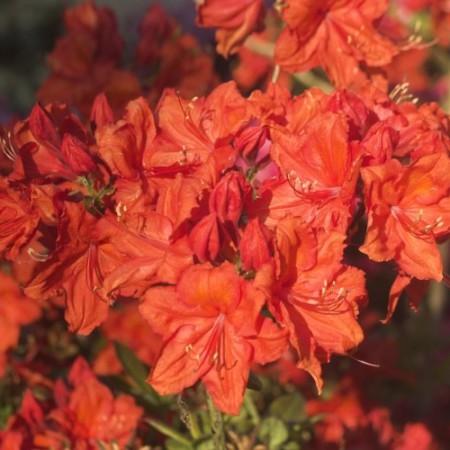 Rhododendron luteum 'Feuerwerk'