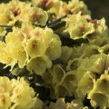 Rhododendron yakushimanum 'Goldprinz'
