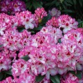 Rhododendron Hybride 'Hachmann`s Charmant'