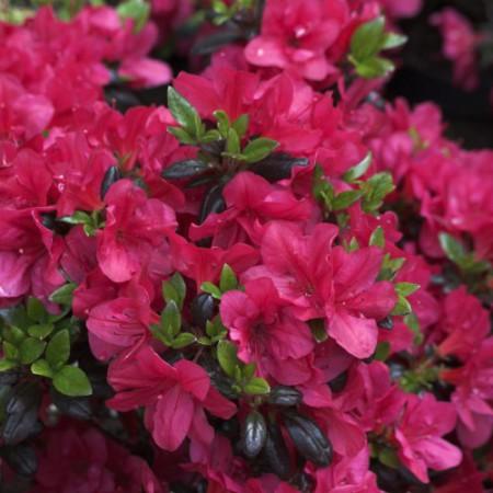 Rhododendron obtusum 'Maruschka'