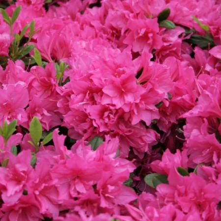 Rhododendron obtusum 'Melina'
