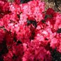 Rhododendron obtusum 'Muttertag'
