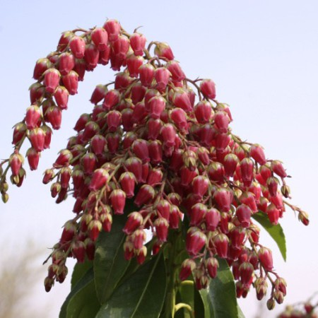 Pieris jap. 'Valley Valentine'