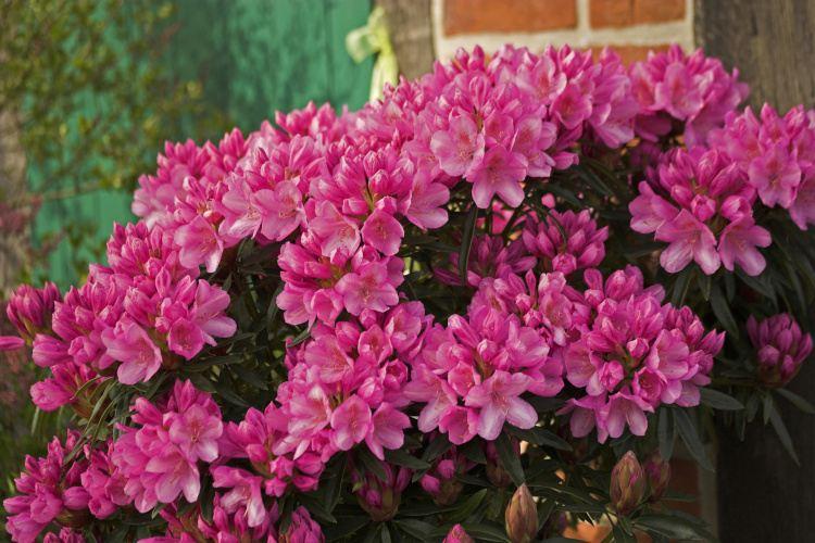 rhododendron ponticum hybride graziella baumschule nielsen. Black Bedroom Furniture Sets. Home Design Ideas