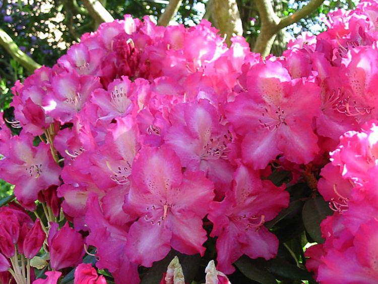 rhododendron hybride 39 berlinale 39 baumschule nielsen. Black Bedroom Furniture Sets. Home Design Ideas
