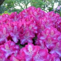 Rhododendron Hybride 'Berlinale'
