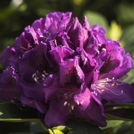 Rhododendron Hybride 'Blue Boy'