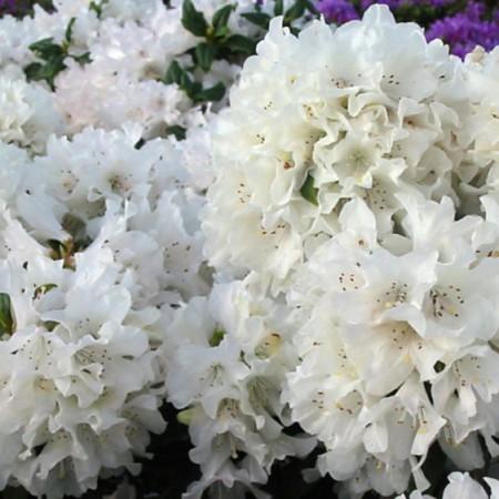 Rhododendron carolinianum 'Dora Amateis'