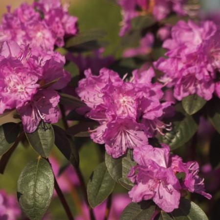 Rhododendron carolinianum 'P. J. M. Elite'
