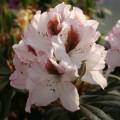 Rhododendron Hybride 'Graffito'