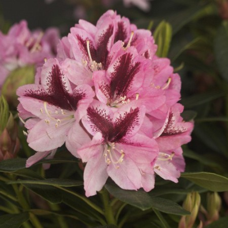 Rhododendron Hybr. 'Kalamaika'