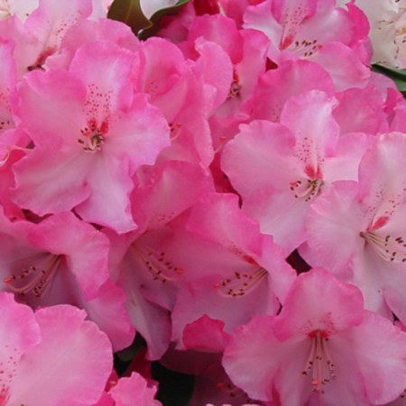 Rhododendron Hybride 'Lem´s Monarch'