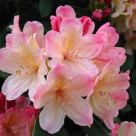 Rhododendron yakushimanum 'Perci Wiseman'