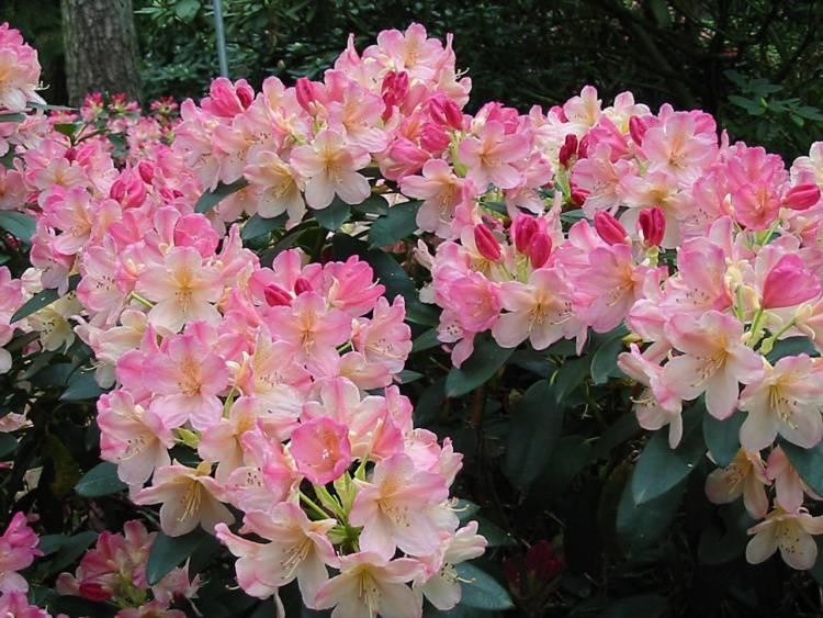 rhododendron yakushimanum 39 percy wiseman 39 baumschule nielsen. Black Bedroom Furniture Sets. Home Design Ideas