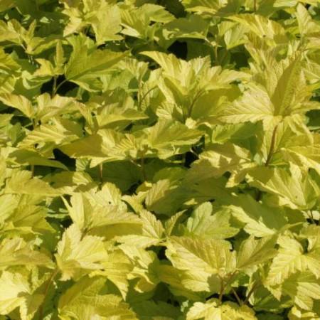 Physocarpus op. 'Dart´s Gold'