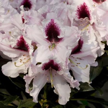 Rhododendron Hybr. 'Sapporo'