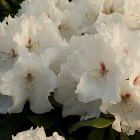 Rhododendron Hybr. 'Schneespiegel'