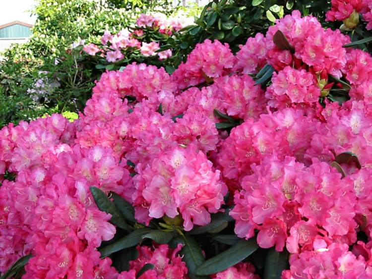 rhododendron yakushimanum 39 sonatine 39 baumschule nielsen. Black Bedroom Furniture Sets. Home Design Ideas