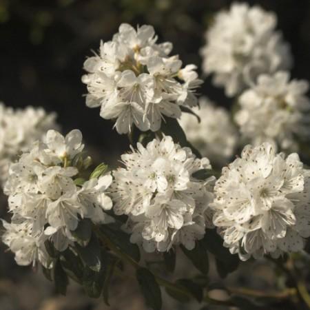 Rhododendron trichostomum 'Schneeflöckchen'
