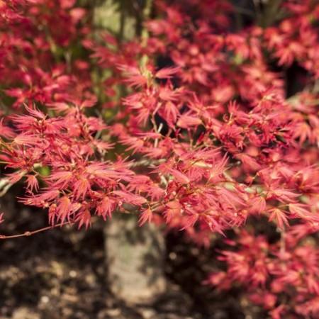 Acer palmatum 'Wilson´s Pink Dwarf'