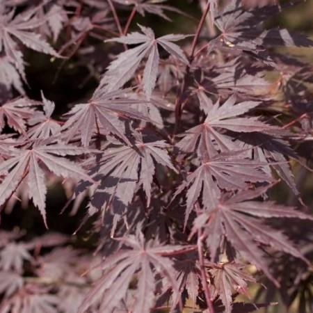 Acer palmatum 'Yasemin'