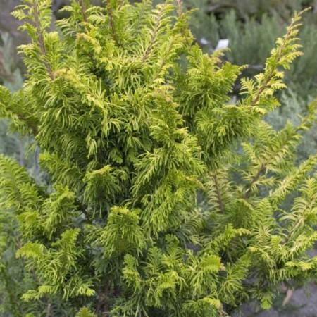 Chamaecyparis obtusa 'Tetragona Aurea'