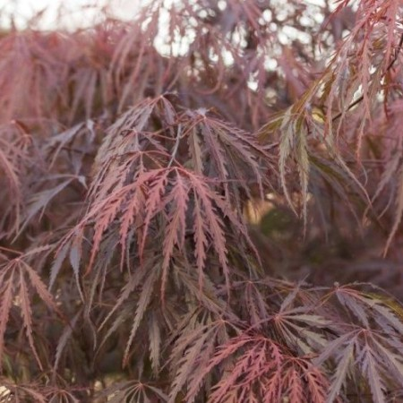 Acer palmatum 'Dissectum Garnet'