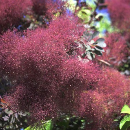Cotinus cogg. 'Royal Purple'