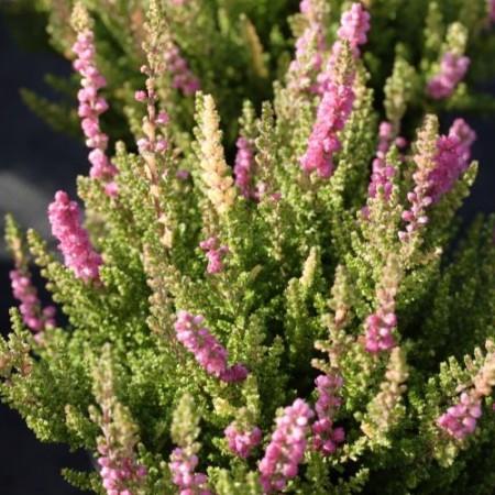 Calluna vulgaris 'Bajazzo'