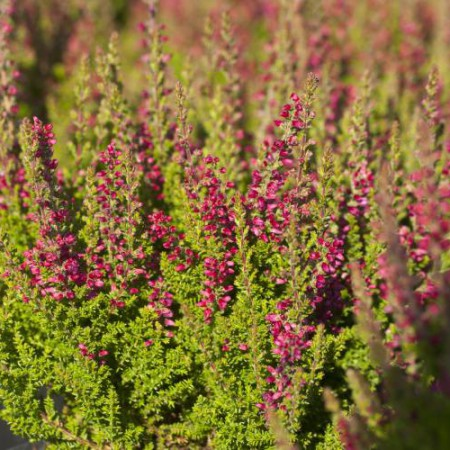 Calluna vulgaris 'Dark Beauty'