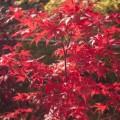 Acer palmatum 'Granat'