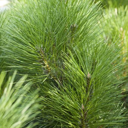 Pinus nigra 'Pyramidata'