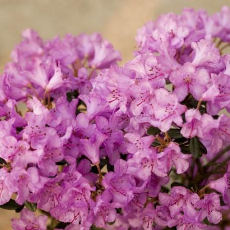 Rhododendron pumilum