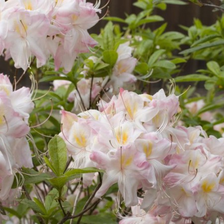 Rhododendron luteum 'Satomi'