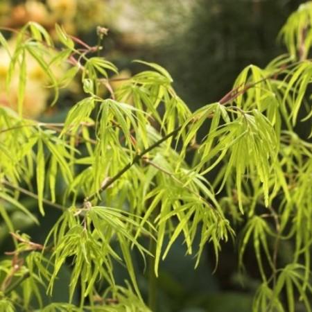 Acer palmatum 'Shino buga oka'
