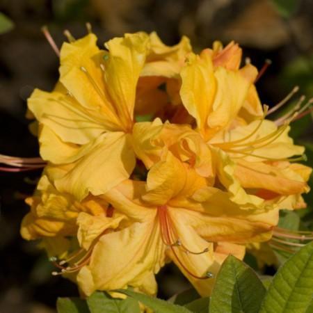 Rhododendron luteum 'Sunte Nectarine'