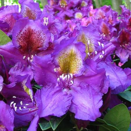 Rhododendron Hybr. 'Tamarindos'