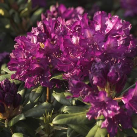 Rhododendron Hybr. 'Tonika'