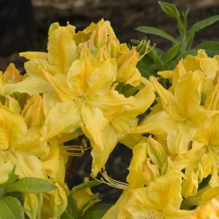 Rhododendron luteum 'Windsor Sunbeam'