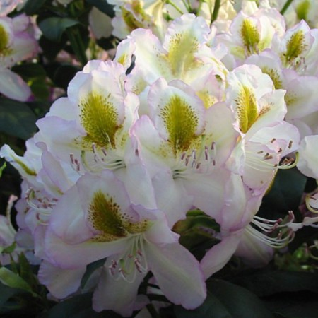 Rhododendron Hybride 'Albarello'