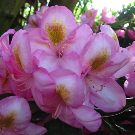 Rhododendron Hybride 'Arkadius'