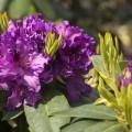 Rhododendron Hybride 'Azurro'