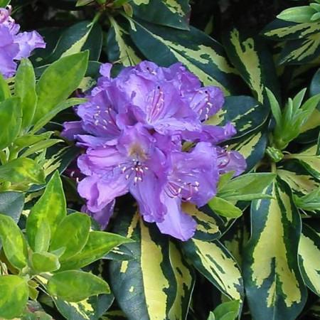 Rhododendron Hybride 'Blattgold'