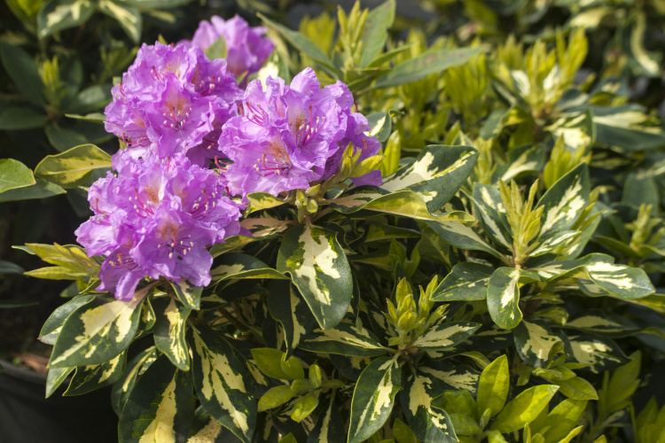 rhododendron hybride 39 blattgold 39 baumschule nielsen. Black Bedroom Furniture Sets. Home Design Ideas