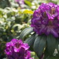 Rhododendron Hybride 'Bluebell'