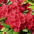 Rhododendron Hybride 'Busuki'